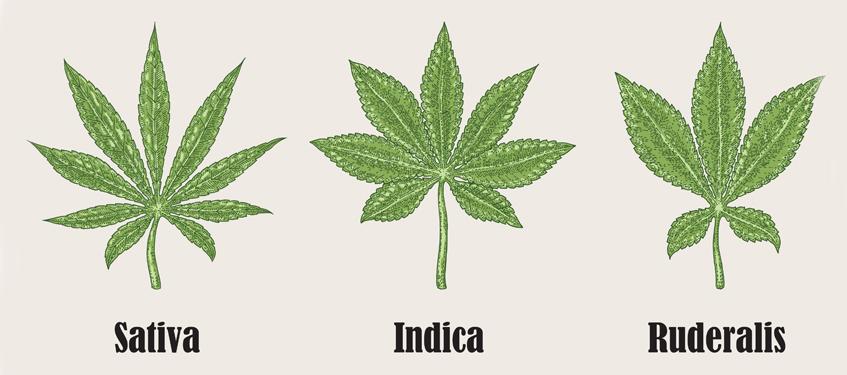 Cannabis sativa, Cannabis indica и Cannabis ruderalis
